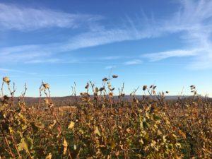 fall-vines